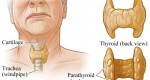 Thyroid glands